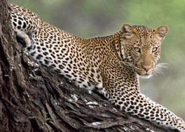 The big five, Leopard