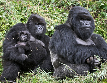 Gorillas trekking at Bwindi in Uganda