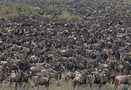 Serengeti Wildebeest Migration Tour