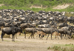 South Serengeti  Migration Tour