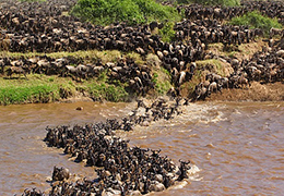 Mara Wildebeest Migration Tour