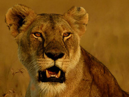 watch the big five at Masai Mara