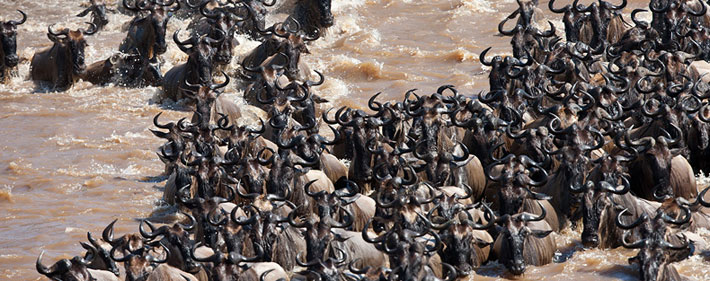 The Great wildebeest Migration pictures