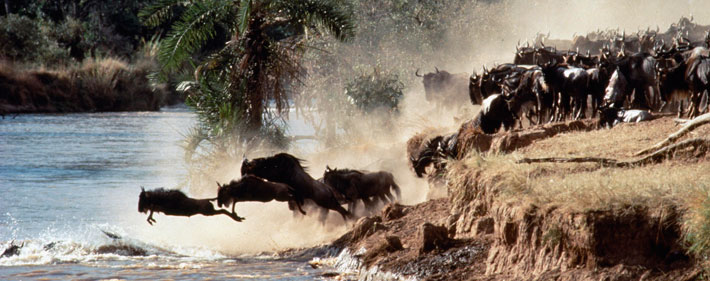 Watch the Great migration in Africa