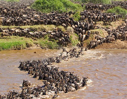 The wildebeest migration from Serengeti